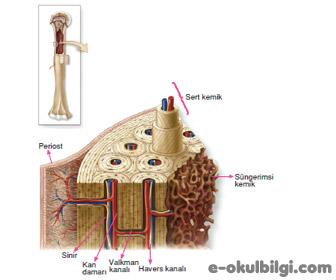Kemik doku nedir? Kemik doku özellikleri