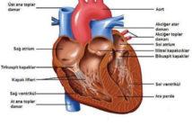 Kalp nedir? Kalbin görevleri nelerdir?